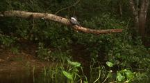 Ringed Kingfisher Grooming, On Tree Branch Over River
