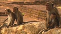 Toque Macaques On Rocks