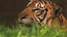 Tiger, Close-Up, Shaking Water Off Face