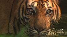 Tiger Wades, Swims, Drinks