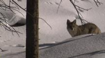 Coyote Walks In Snowy Forest