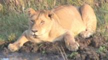 Female Lion Drinking At A Pond