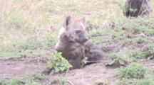 One Spotted Hyena Cub