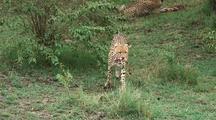 Cheetah Eating Topi