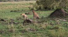 Cheetah Looking For Prey