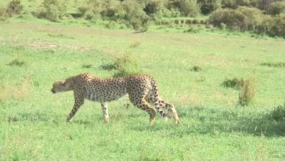 Cheetah Getting Ready To Hunt