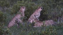 Cheetah Feeding On Topi At Dusk