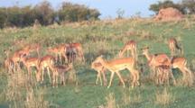 Grant's Gazelle Herd