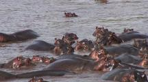 Hippopotamus In Mara River