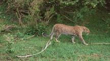 Leopards-Bela,Starting To Hunt