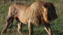 Male Lion Bleeding From Hind Quarters