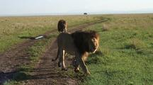 Male Lions Going Back To Their Pride