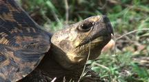 Leopard Tortoise Looking Around, Throat Moving