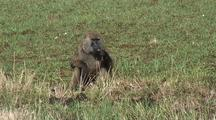 Baboon Eating Roots