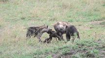 Hyena Pups Fighting Over Carcass