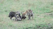 Hyena Den With Pups