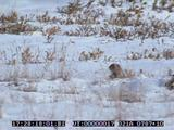 Arctic Ground Squirrel, Watching, Lookout, Alarm Call, Snow