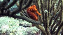 Caribbean Seahorse, Hippocampus, Blown In Surge
