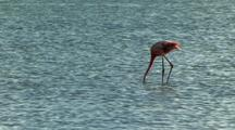Caribbean Flamingo Feeding