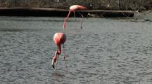 Caribbean Flamingos Feeding