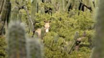 Wild Donkey Hidden In Tall Cactus