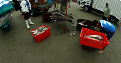Wide shot of the Fish Market at Puerto Lopez, with Hammerhead Sharks, Sphyrna lewini,  on the scale with their heads and fins chopped off.