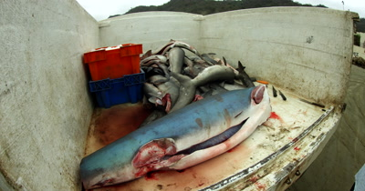 Close Up shot of a trailer full of bodies Hammerhead Sharks,Sphyrna lewini and a Blue Marlin, Makaira nigricans at the fish market at Puerto Lopez with their fins and heads chopped off.