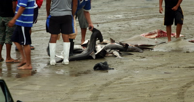 Medium shot of the Fish Market at Puerto Lopez, with a fisherman cutting off  a Hammerhead Sharks, Sphyrna lewini, head and removing its intestines..