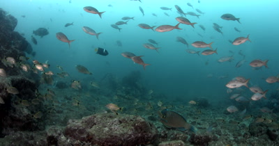 MS of Schools Reef fish,King Angelfish, Holacanthus passer, Bumphead Parrot fish, Scarus perrico, Five Spot Anthias, Paranthias colonus, Cardinal Fish, Apogon fuscus
