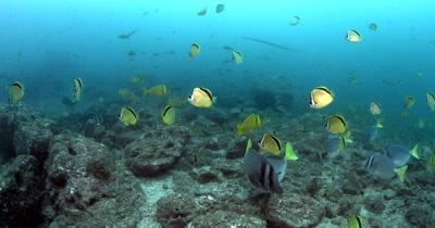 Schools of Razor Surgeonfish, Blacknosed butterflyfish or Barberfish, Johnrandallia nigrirostris, Cardinal Fish, Apogon fuscus, Snappers, Lutjanus sp, Trumpetfish, Aulostomus sp