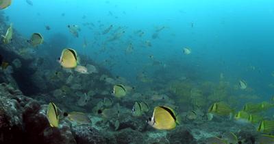 Schools of Blacknosed butterflyfish or Barberfis, Johnrandallia nigrirostris, Cardinal Fish, Apogon fuscus,Snappers, Lutjanus sp,Mexican Hogfish,