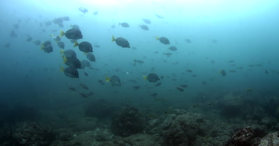 Schools of Razor Surgeonfish,Prionurus laticlavius,with Cardinal Fish, Apogon fuscus, in the background and a single King Angelfish, Holacanthus passer,