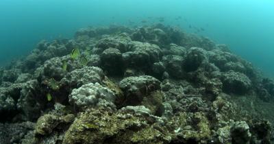 A wide shot of the reefs at Isla de la Plata with schools of  Sergeant Major Fish,  Abudefduf saxatilis, Blacknosed butterflyfish,Barberfish,Johnrandallia nigrirostris,King Angelfish, Holacanthus passer and Butterflyfish , Chaetodons
