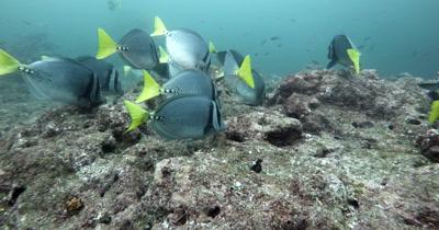 A Medium Shot of Razor Surgeonfish, Prionurus laticlavius