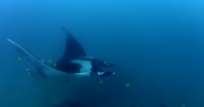 A Medium Shot of a Giant Manta Ray, Manta birostris, that is  being cleaned by King Angelfish, Holacanthus passer and Blacknosed butterflyfish, Johanrandallia nigrirstris as it glides in the sea.