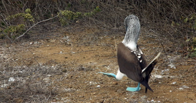 A Blue Footed Booby shows off its courting dance.