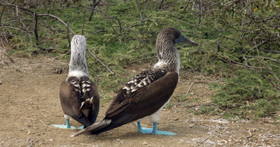 A Medium Shot of Two Grooming Blue Footed Booby's