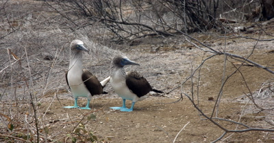 A Medium Shot of Two Blue Footed Booby's facing the camera