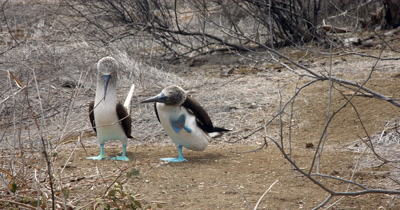 A Medium Shot of Blue Footed Booby's offering twigs to one another, facing the camera