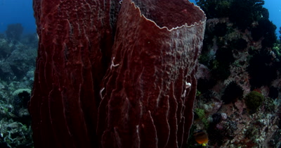 Reveal of Two Large Barrel Sponges, Xestospongia testudinaria