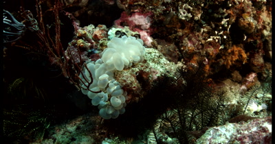 MS Orangutan Crab on Bubble Coral,Oncinopus sp1 on Plerogyra sinuosa