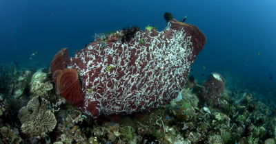 WS Cutaway Large Barrel Sponge covered with feeding white sea cucumbers, Xestospongia testudinaria covered with Synaptula lamperti