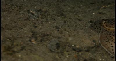 CU Reveal Mating,Moon-headed sidegill slug at night time