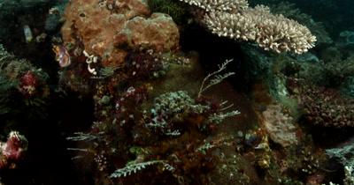 MS Reveal Underwater Reef beauty shot of coral reef and large Barrel sponge,Xestospongia testudinaria.
