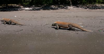 MS Two Komodo Dragons,Varanus komodoensis, walking on the beach,tongues licking