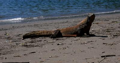 MS Komodo Dragon,Varanus komodoensis, on Beach