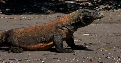 CU Impressive Komodo Dragon,Varanus komodoensis, on beach,close up