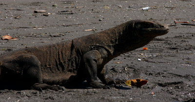 CU Impressive Komodo Dragon,Varanus komodoensis, walking on beach, tongue flicking, walks out of shot.
