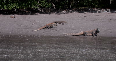 WS Three Komodo Dragons,Varanus komodoensis, walking on the beach,tongues licking