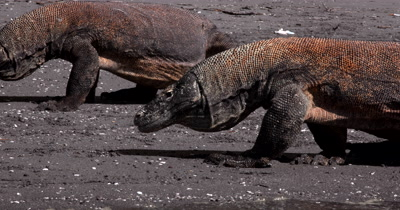 CU Tracking Two Komodo Dragons,Varanus komodoensis, interact on the beach